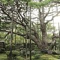2011-京都之旅-寶泉院-五葉乃松.jpg