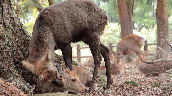 2011-京都之旅-第八天-野鹿公園-03.jpg