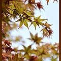 竹子湖:楓