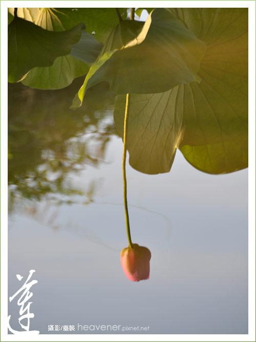 植物園‧蓮 / 塵襲攝影