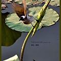 植物園白頭翁 / 攝‧塵襲