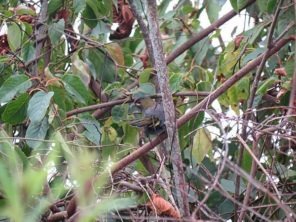 黃胸藪眉2-201207-清境農場