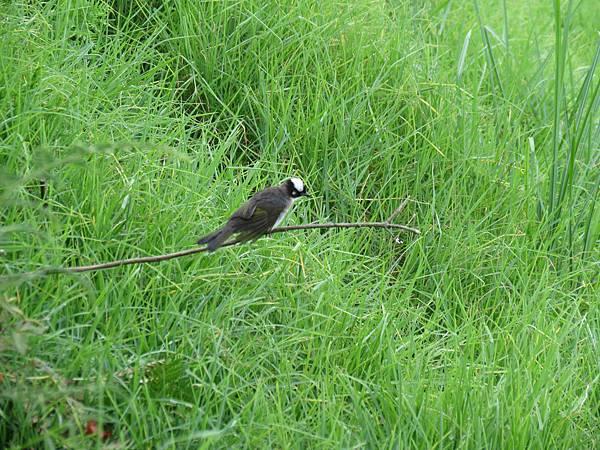 白頭翁-201207-清境農場