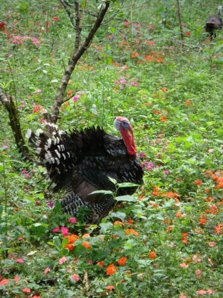 第一次看到漂亮又大隻的火雞