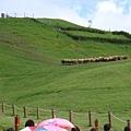 綿羊秀開始  牧羊犬將羊群趕到山頂上!