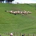 到山頂後 再把所有的羊一起趕下來  衝刺很快!