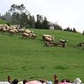 這叫做萬羊奔騰!!!