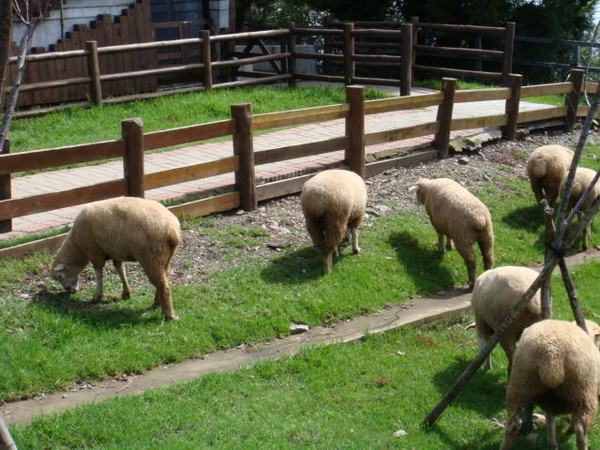可愛肥肥的綿羊們