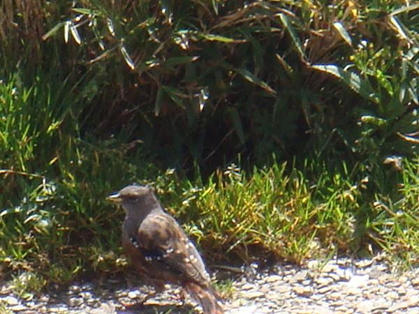 在武嶺有專門生長的稀有鳥類,好像叫朱雀?