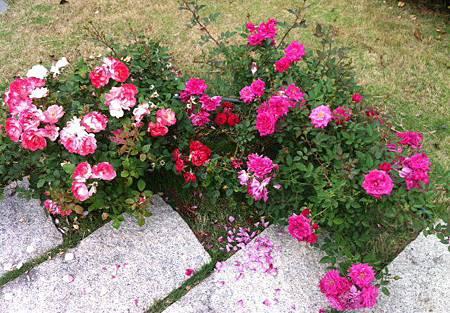 玫瑰 2.JPG