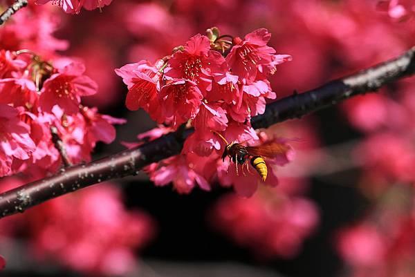 櫻花 & 黃蜂