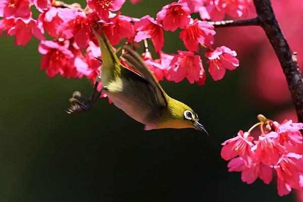 櫻花 & 綠繡眼