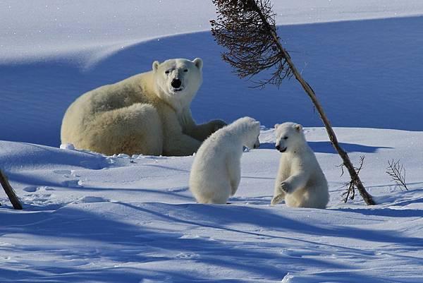 加拿大北極熊