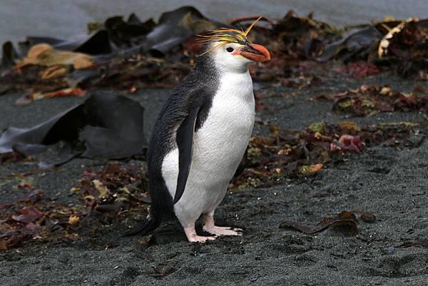 亞南極 皇家企鵝