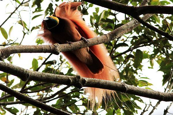 新幾內亞 瑞吉亞納天堂鳥