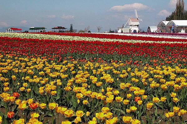 美國 華盛頓州 鬱金香花田