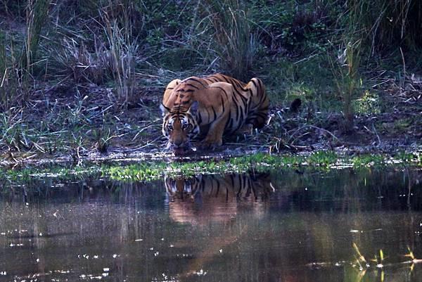 印度 孟加拉虎