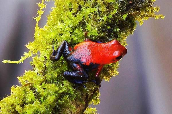 哥斯大黎加  草莓箭毒蛙