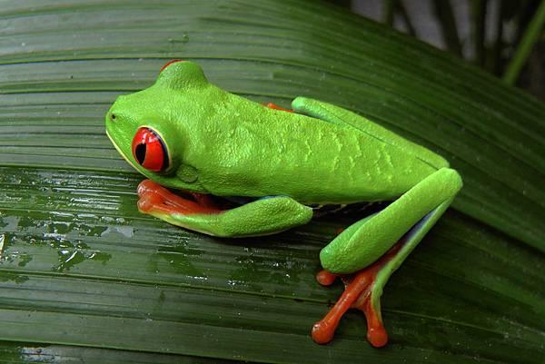 哥斯大黎加  豔彩葉蛙