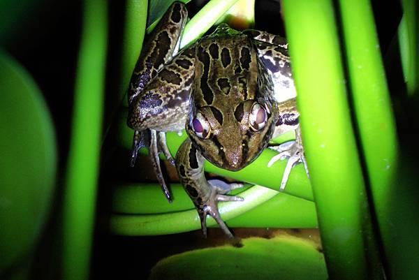 哥斯大黎加 青蛙