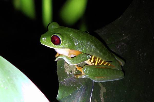 哥斯大黎加  褐眼溪蛙