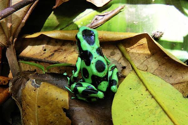 哥斯大黎加  黑綠箭毒蛙