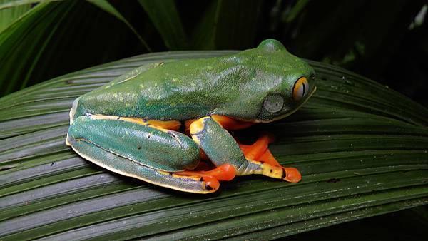 哥斯大黎加  虎紋葉蛙