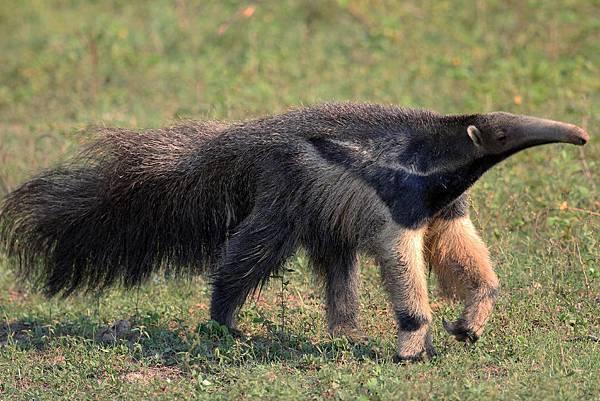 巴西 潘塔納爾 食蟻獸