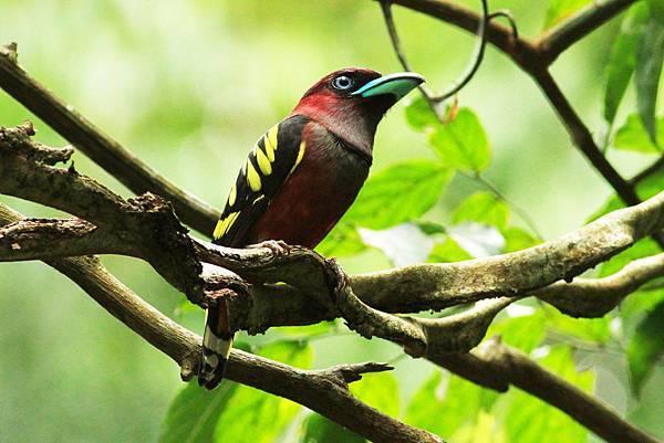 泰國 斑闊嘴鳥