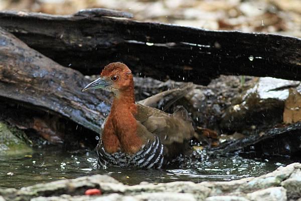 在洗澡的 灰腳秧雞.JPG