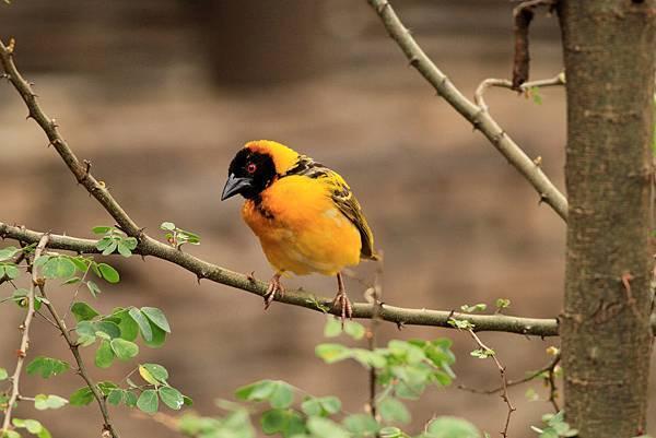 坦桑尼亞 黑臉巧織雀