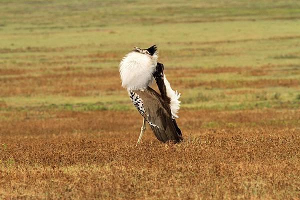 坦桑尼亞 灰頸鴇(雄)