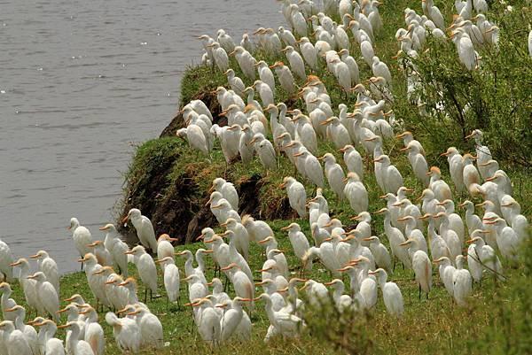 坦桑尼亞 黃頭鷺
