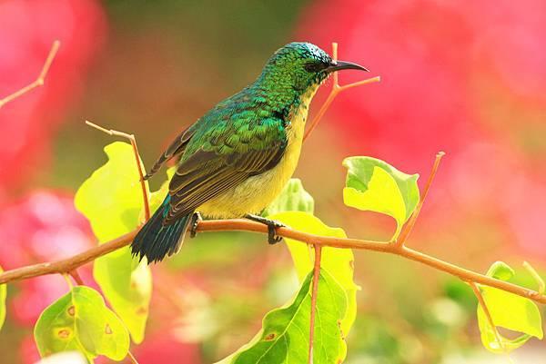 坦桑尼亞 環頸直嘴太陽鳥