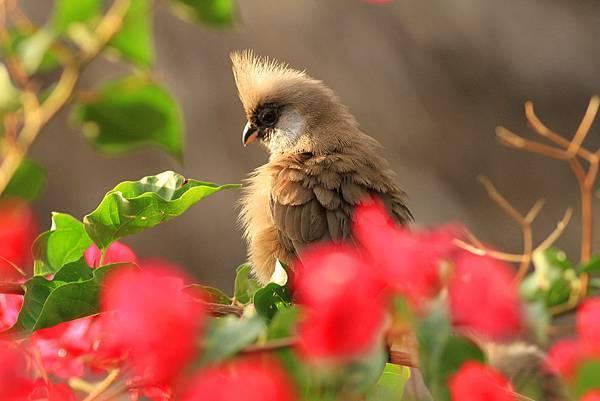 坦桑尼亞 斑鼠鳥