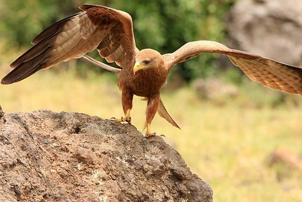 坦桑尼亞 草原鵰