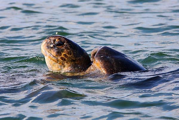 加拉巴哥群島 海龜