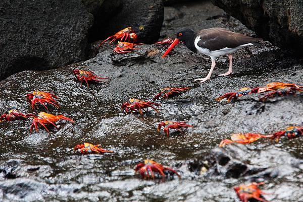 加拉巴哥群島 方蟹+美洲蠣鴴