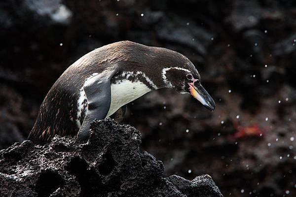 加拉巴哥群島 環企鵝
