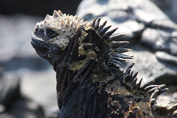 加拉巴哥群島 海鬣蜥