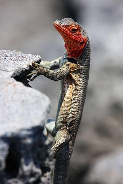 加拉巴哥群島 岩蜥