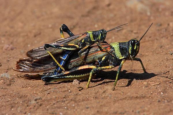 加拉巴哥群島 蝗蟲