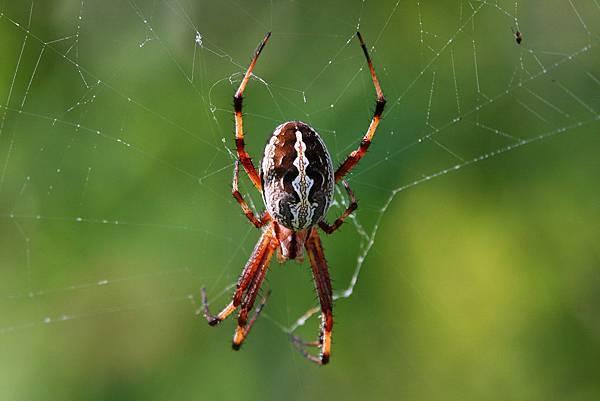 加拉巴哥群島 蜘蛛