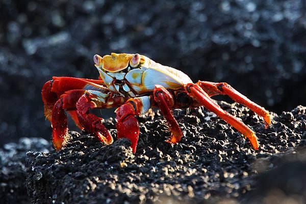 加拉巴哥群島 方蟹