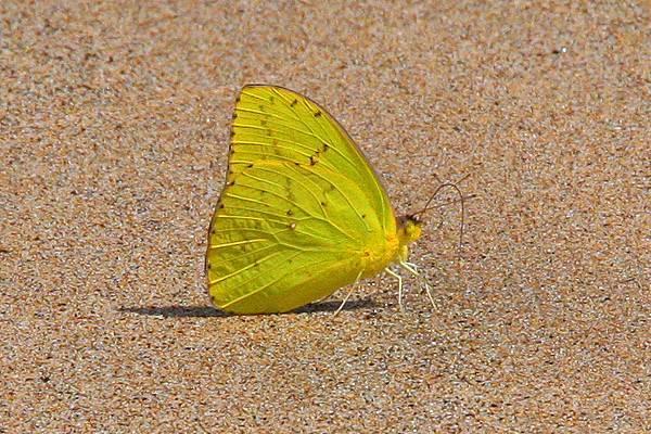 加拉巴哥群島 蝴蝶