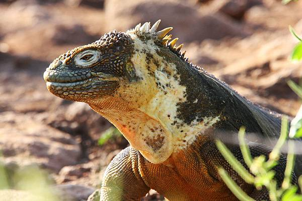 加拉巴哥群島 陸鬣蜥