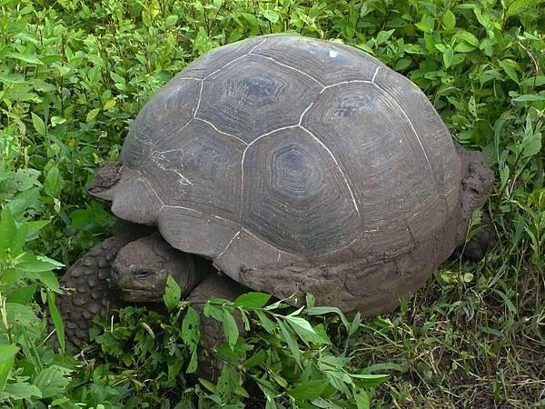 加拉巴哥群島 百年陸龜