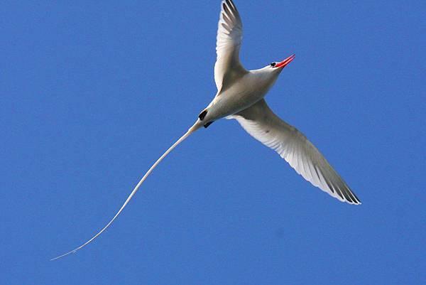 紅嘴長尾熱帶鳥
