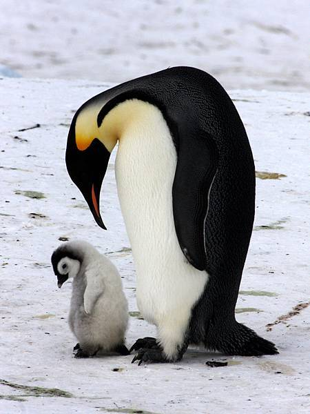 南極 帝王企鵝
