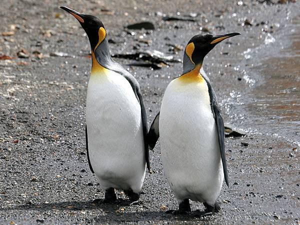 南極 國王企鵝
